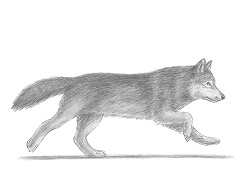 How to Draw a Gray Wolf Running