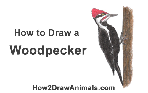 How to Draw a Woodpecker Bird