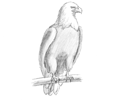 How To Draw An Eagle Bald