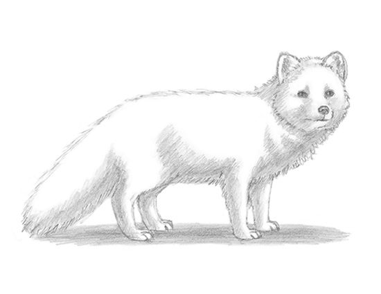 How to Draw a White Arctic Fox