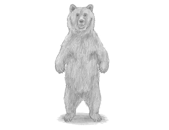 How to Draw a Grizzly Bear Standing