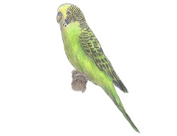 How to Draw a Budgie Parakeet Green