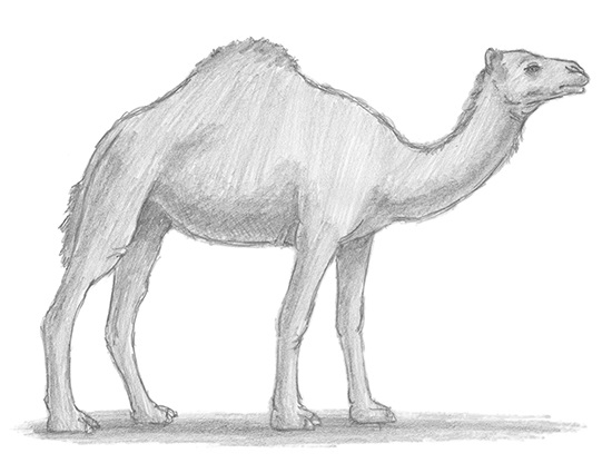 How to Draw a Dromedary Camel