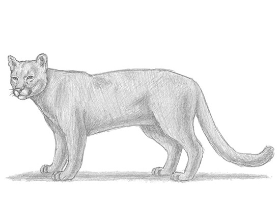How to Draw a Cougar Mountain Lion Puma Panther