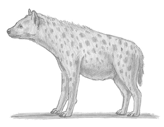How to Draw a Spotted Hyena