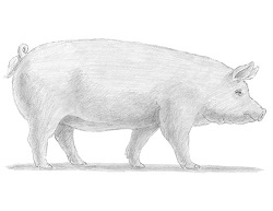 How to Draw a Domesticated Pig